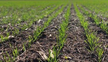 Las principales enfermedades de trigo a tener en cuenta