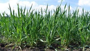 Se necesitan lluvias urgentes para las etapas más críticas del trigo