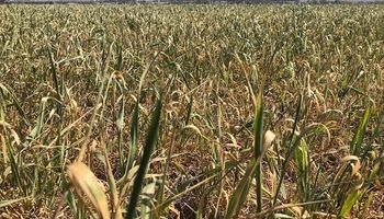 La mitad del trigo sembrado en zona núcleo está en estado de regular a malo