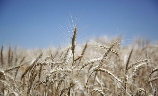 Cosecha récord: proyectan que el trigo alcance más de 20 millones de toneladas