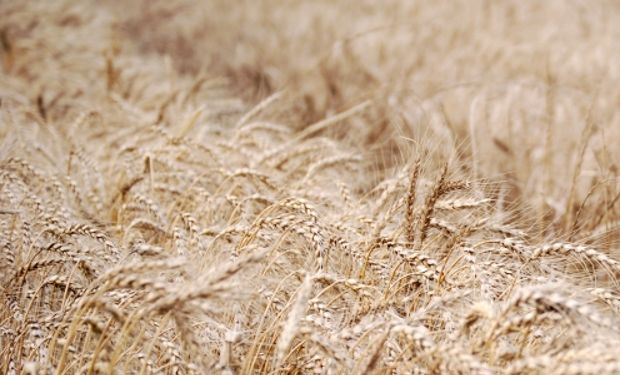 ¿Peligra la siembra de las 7 millones de hectáreas de trigo?
