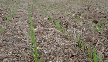 La falta de lluvias empieza a preocupar al trigo en zona núcleo