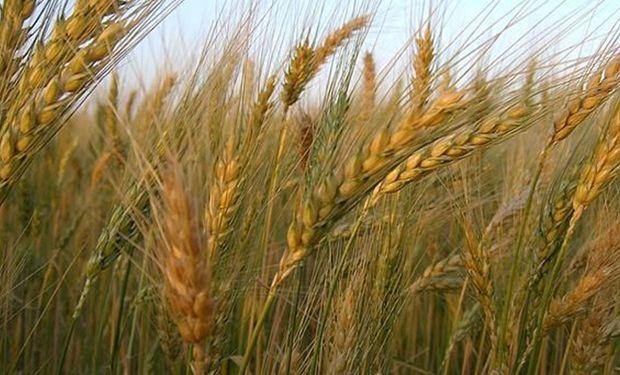Ya se puede realizar el análisis de calidad de trigo en Buenos Aires: cómo acceder al estudio gratuito
