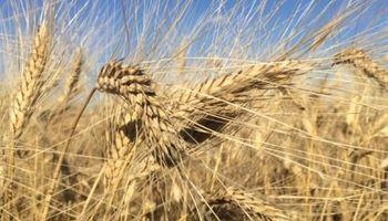 El trigo argentino volvió al mundo