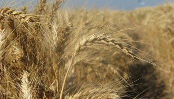 """Los productores de trigo de Entre Ríos que arrendaron """"no logaron cubrir los costos"""""""