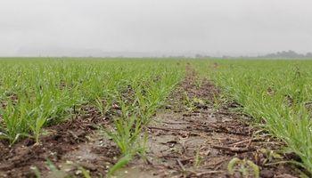 La roya obligará a estar bien cerca de los lotes de trigo