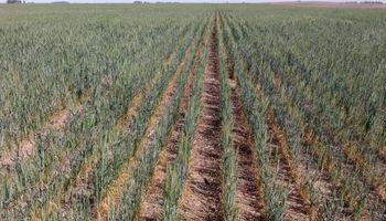 Por la sequía habrá 2,2 millones de toneladas menos de trigo