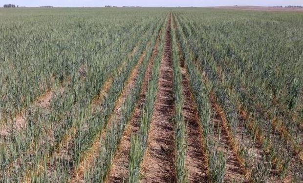 La escasa oferta hídrica provocó plantas de escaso macollaje y, por lo tanto, con pocas estructuras para llenar.