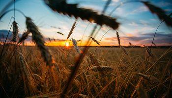 Los tres factores que llevan al precio del trigo a un máximo de 10 días
