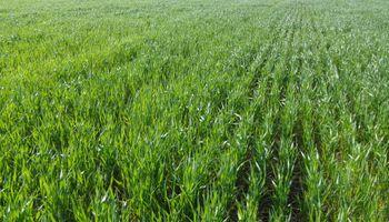 Las tres provincias poco tradicionales en donde más crece el trigo