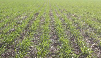 Casi un 60 % del trigo enfrenta una situación de sequía, comprometiendo el rinde esperado