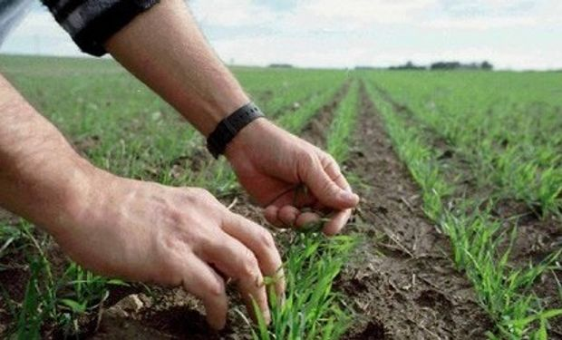 Lluvias escasas aliviaron cultivos trigo
