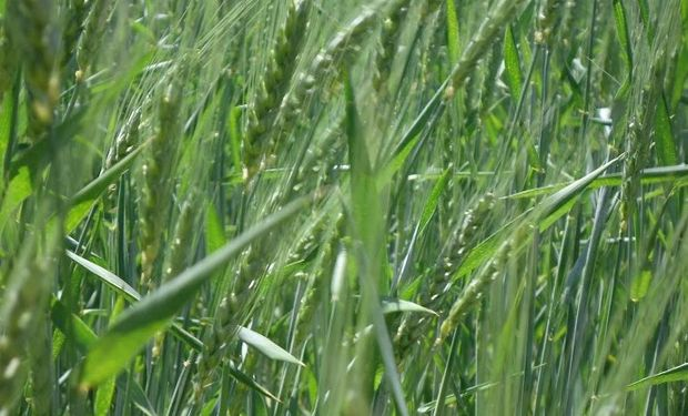 Los cereales aportan estabilidad a las rotaciones.