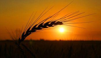 Fuertes subas para el trigo en el mercado de Chicago
