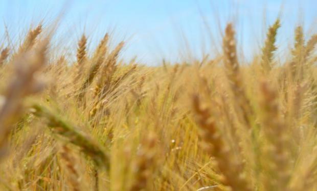 Propuesta de clasificación del trigo argentino