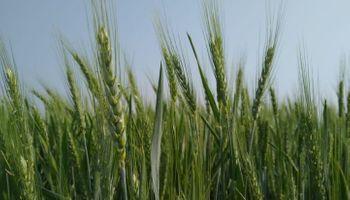 Trigo: comenzó la cosecha en el norte y la condición general volvió a caer