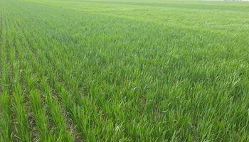 Podría haber sido el año del trigo, pero la falta de agua y de fertilización se interpuso