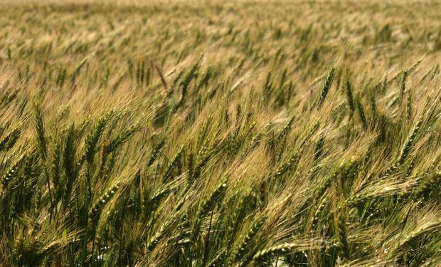 Problemas aparecen cuando se proyecta el resultado económico del cultivo.