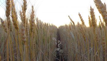 Qué dicen las primeras tendencias de rindes para el trigo