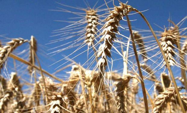 Prevén que el trigo inyecte en 2017 US$ 1000 millones en la economía.