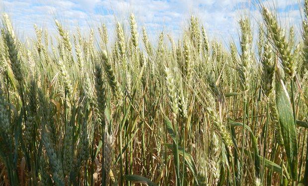 Mejores expectativas que la campaña pasada, reglas comerciales claras, y la necesidad de extraer el agua para  bajar las napas, alientan con fuerza al cereal.