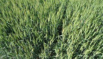 Por qué la Argentina exportó 295.000 toneladas menos de trigo a Brasil
