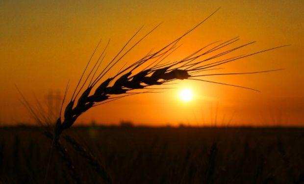 Luego varias sesión al alza, el trigo cierra con fuertes bajas.