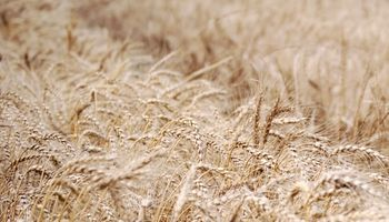 Con promotores de crecimiento, el trigo rinde un 13 % más