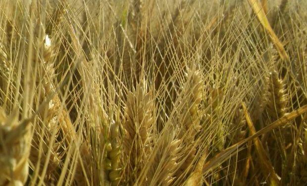 La próxima semana podría generalizarse la cosecha.