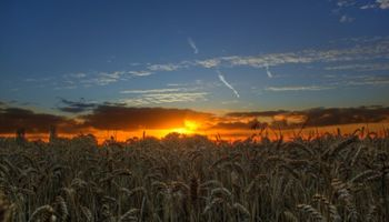 CBOT: el trigo se reafirmó luego de una ronda de cobertura