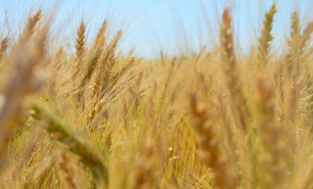 ¿Llegará el trigo a superar el record de los 44 quintales del  ciclo 2010/11?