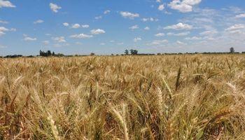Santa Fe: comparten los resultados de la RED de evaluación de cultivares de trigo