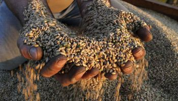 Bonificaciones de hasta un 15% para el trigo de calidad