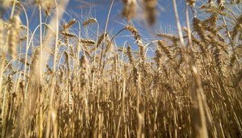 """""""Para el olvido"""": finaliza la cosecha de trigo en el centro norte de Santa Fe con una caída de 16,7 quintales en el rinde"""