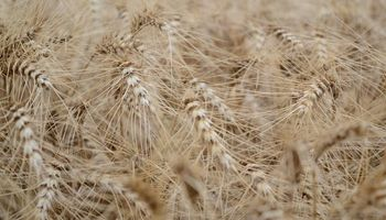Argentina vuelve a exportar trigo a Estados Unidos