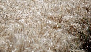 Exportación de trigo aumentó 94,8% en un año