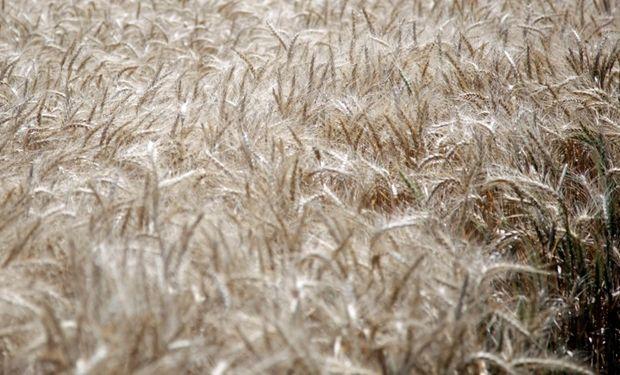 Fuerte aumento de las ventas externas de trigo