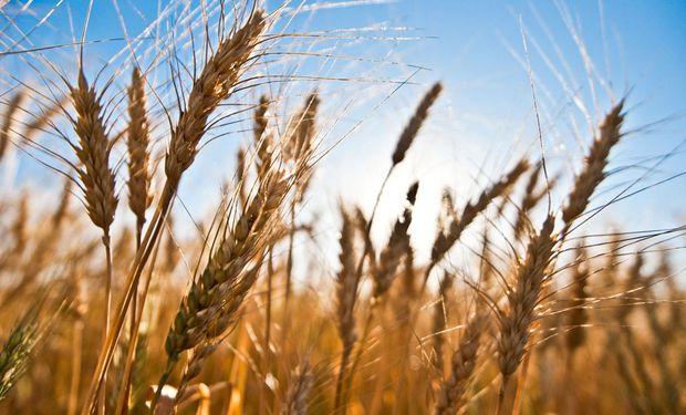 """Buryaile: """"Este año esperamos más y mejor trigo""""."""