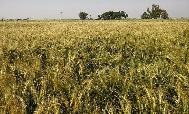 En 5 pasos, conocé la variedad de trigo que mejor se adapta a tu región