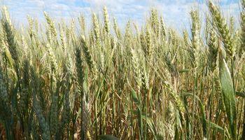 Importarán trigo de Uruguay tras 43 años