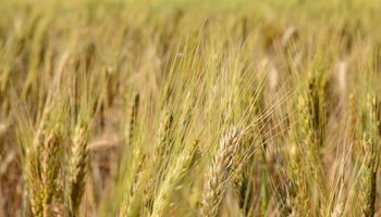 Fuerte suba del trigo en Chicago