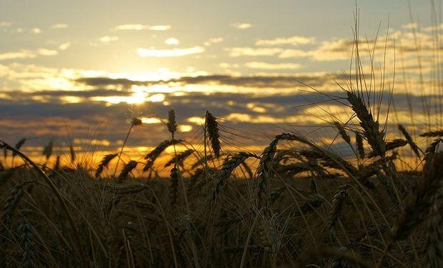 Falta agua en trigo y la soja le gana casilleros al maíz
