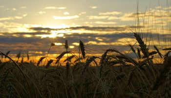 El trigo no encuentra la salida