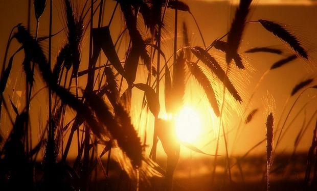 Se derrumbó 33% el precio del trigo local, aunque sigue caro