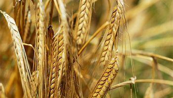 Estiman leve aumento en la siembra de trigo para este año