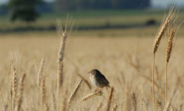 CREA anticipa una producción total de trigo cercana a los 19 millones de toneladas.