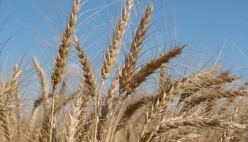 ¿Escasez de trigo en Brasil? Molinos presionan al gobierno para que levante restricciones sanitarias a Rusia
