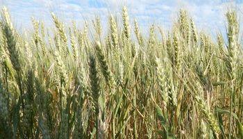 Recomendaciones para un trigo con buen rinde y alta calidad