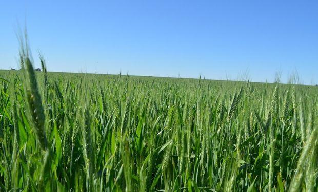 En la plaza local los valores del trigo que se podía negociar avanzaron en línea con las mejoras de Chicago.