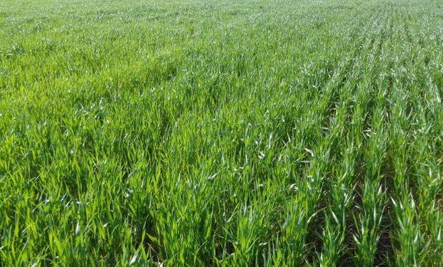 Un 80% del trigo se encuentra en estado general de muy bueno a excelente.